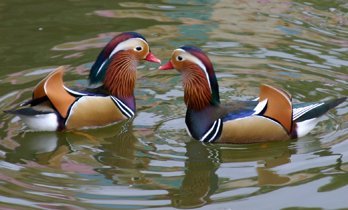 pictures of mandarin ducks pair in water