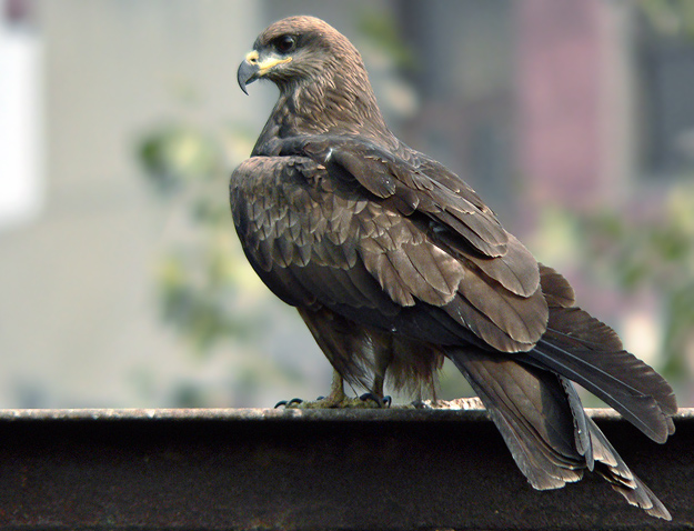 Indian kite bird - photo#2