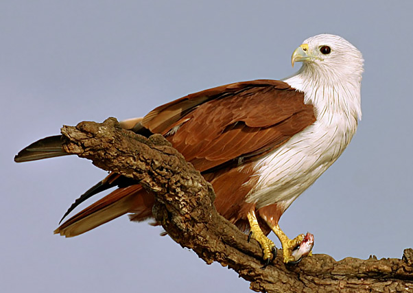 Indian kite bird - photo#1