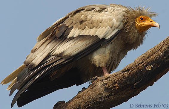 egyptian vulture drawing - photo #23