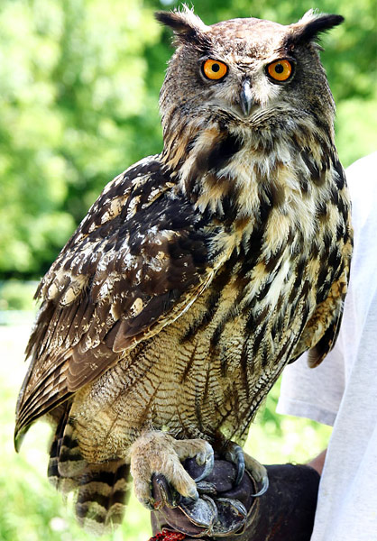 http://www.birding.in/images/Birds/eurasian_eagle_owl.jpg