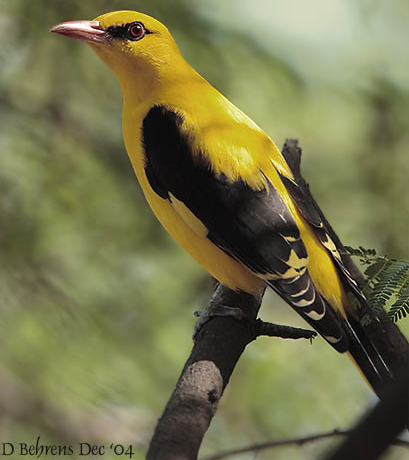 Eurasian Golden Oriole (Oriolus oriolus) - image by David Behrens.