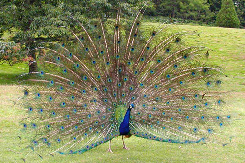 indian peacock - *!~ Peacock pics ~!*