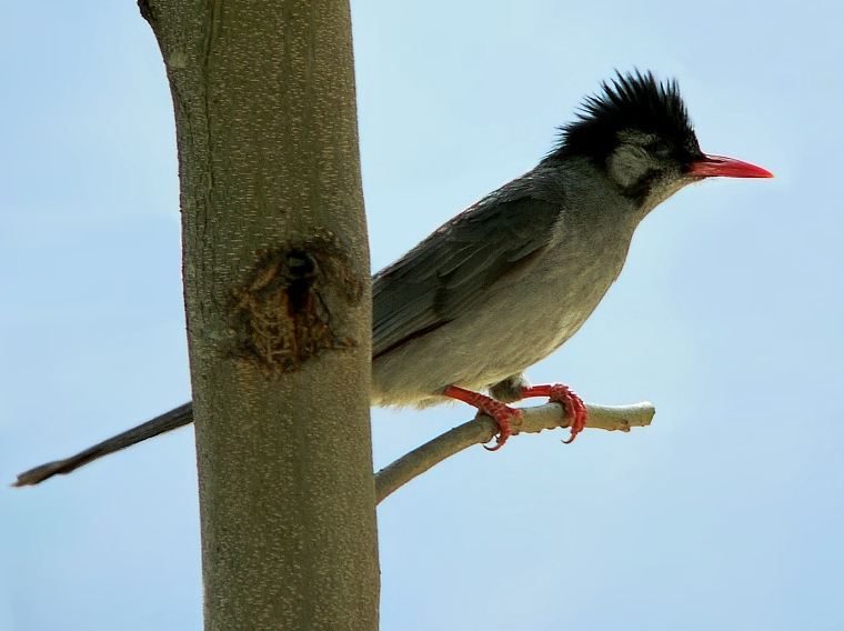 free downloading pics of black bulbul wiki