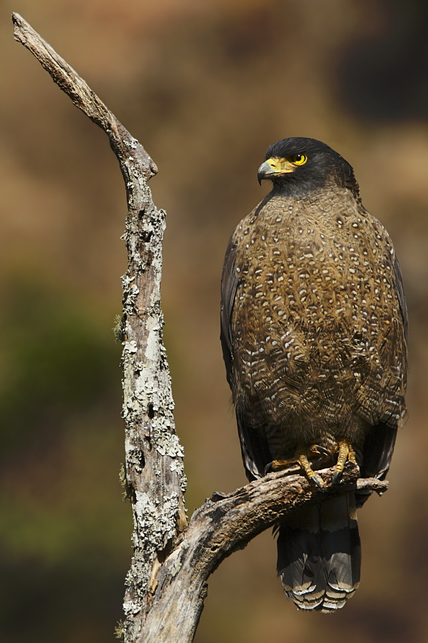 http://www.birding.in/images/Birds/rajiv/cs_eagle.jpg