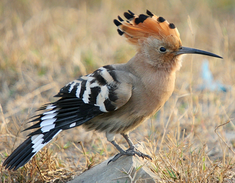 wallpapers of animal african hoopoe birds information