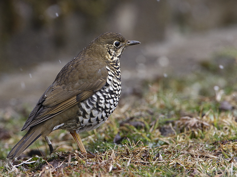 Plain backed thrush photograph rajiv lather
