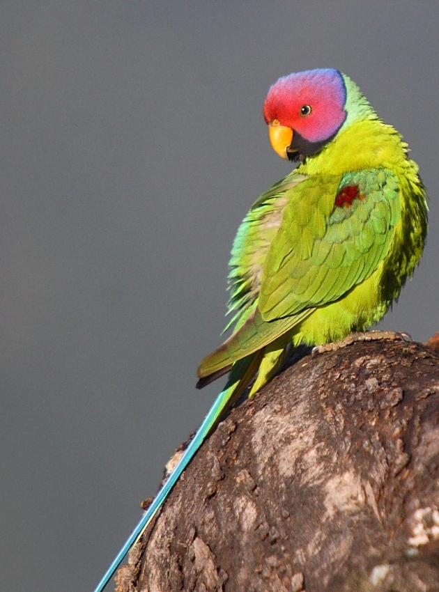 Parakeet Picture yellow face
