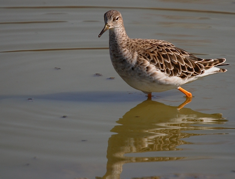 Ruff - Philomachus pugnax - Scolopacidae - Birds of India ...