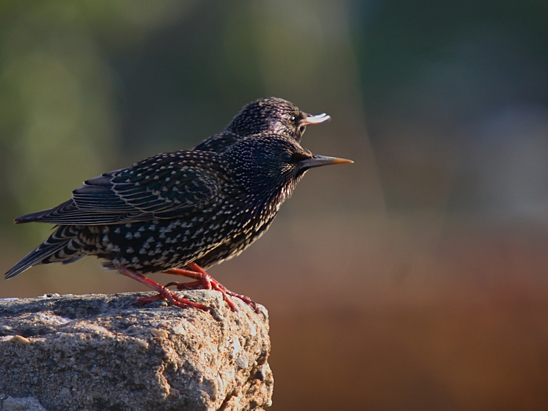 European Starling photo by