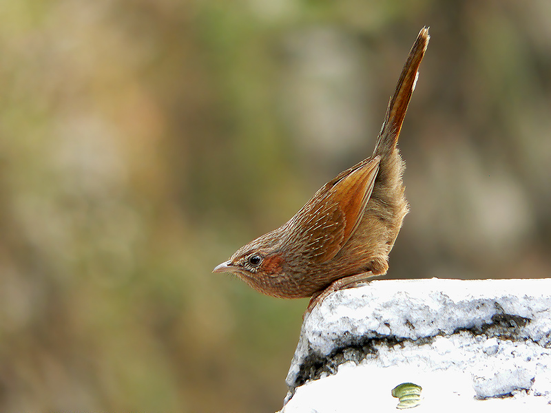 indian animals of streaked laughing thrush images
