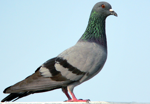 Pigeon-Photos