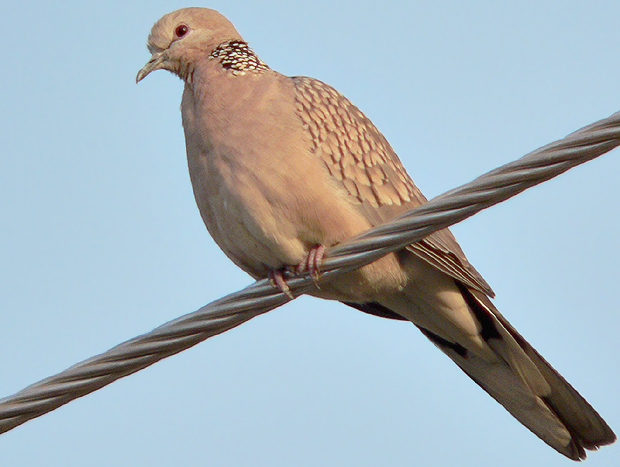 Spotted dove flying - photo#23